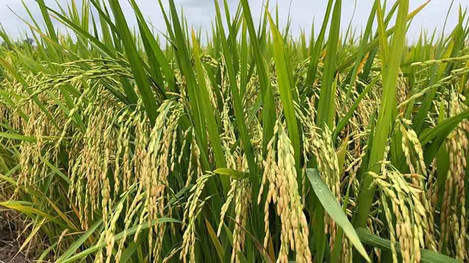 Mô hình lúa Global G.A.P: Mùa thu hoạch của những niềm vui